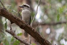 Adult kookaburra perched on eucalypt branch, Edward Hunter Heritage Bush Reserve
