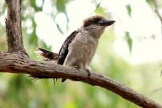 Shows young kookaburra on eucalypt branch, Edward Hunter Heritage Bush Reserve