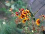 Shows flower of parrot pea, Edward Hunter Heritage Bush Reserve