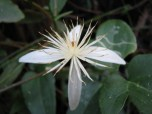 Shows white flower in close up, Edward Hunter Heritage Bush Reserve