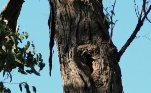 eucalyptus tree hollow, showing signs of use, Edward Hunter Heritage Bush Reserve