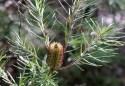 Shows flowering hairpin banksia, Edward Hunter Heritage Bush Reserve