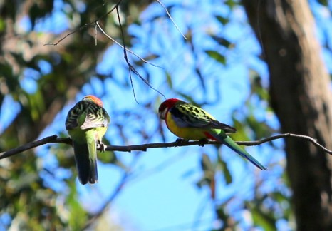 Shows pair Eastern rosellas, Edward Hunter Heritage Bush Reserve