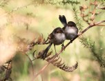 Shows pair of fairy-wrens, Edward Hunter Heritage Bush Reserve