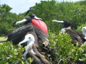 Frigate birds in the frigate bird sanctuary on sister island Barbuda