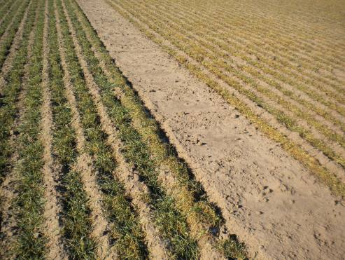 Rye, on the left, is a very hardly plant species—and because of that, it stays greener longer into the winter than wheat.