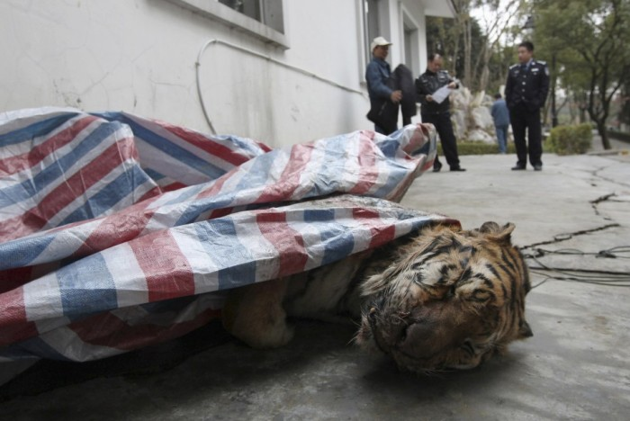 The tiger carcass discovered by police in Wenzhou in January 2014 (c) Reuters - China Daily