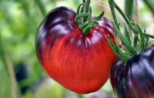 sgt-peppers-14-07-tomatprat