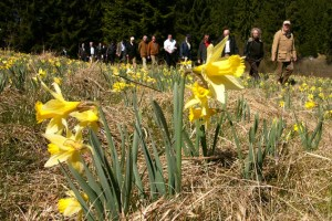 Zum Narzissenfest werden geführte, kostenlose Wanderungen angeboten. Bild: NRW-Stiftung