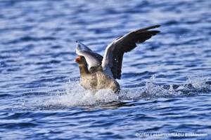 Eine Graugans bei der Landung auf dem Zülpicher See. Bild: Günter Lessenich