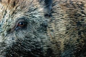 Wildschweine richteten Schäden in zwei Gemünder Wohngebieten an. Bild: Michael Thalken/Eifeler Presse Agentur/epa