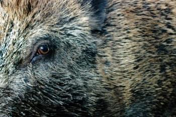 Wildschweine richten auch im Umkreis des Nationalparks Eifel Schäden an. Bild: Michael Thalken/Eifeler Presse Agentur/epa