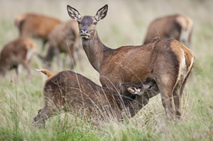Zu den Aufgaben der Revierjägerin/des Revierjägers gehört die Verantwortung für einen artenreichen und gesunden Bestand an Wildtieren - wie beispielsweise beim Rothirsch. Foto: W. Rolfes