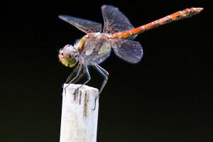 Wie hier ein Männchen der Heidelibelle (Sympetrum striolatum) können verschiedene Libellenarten im Urftal beobachtet werden. Foto: NABU/Günter Lessenich