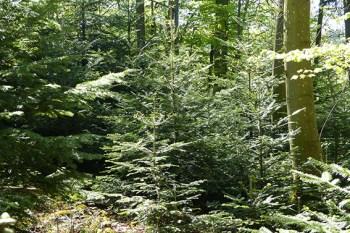 Welche Baumarten dem sich ändernden Klima gewachsen sind, will Förster Martin Lotze auf einer Wanderung erklären. Foto: Forstamt Gerolstein