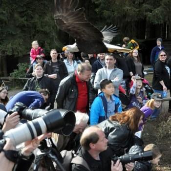 Stets eine Attraktion im Hellenthaler Wildfreigehege sind die spektakulären Flüge der Weißkopfseeadler dicht über die Köpfe der Besucher hinweg. Foto: Reiner Züll