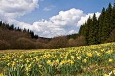 Schon bald wogt in manchen Eifelträlern wieder das gelbe Meer der Narzissen. Bild: Raimund Knauf/Naturpark Hohes Venn/Eifel