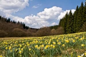 Selbstverständlich gehört auch die Narzissenblüte zu den Höhepunkten des Nordeifel-Frühlings. Bild: Raimund Knauf/Naturpark Hohes Venn/Eifel
