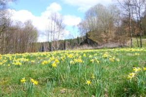 Ab Mitte April, so sind sich die Experten sicher, werden in der Eifel wieder die Narzissen blühen. Bild: Naturpark Nordeifel