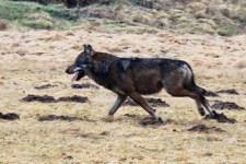 So sieht er aus: Der erste Wolf, der jetzt im Westerwald fotografiert wurde. Bild: Uli Stadler/NABU