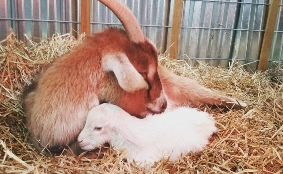 Momma Goat with Newborn Kid