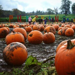 A picture showing a pumpkin field, one of my favourite Halloween activities.