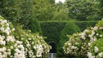 The smell of privet hedges in full bloom always remind me of my late mom.