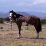 cowboy-paint-overo-gelding