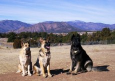 The Three Amigos - Our German Shepherds