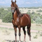 pvr_colorado_peruvian_paso_stallion
