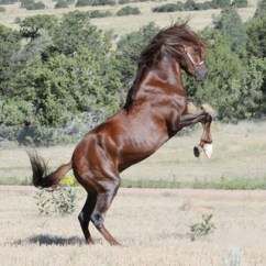 pvr_colorado_peruvian_paso_stallion-3