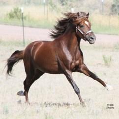 pvr_colorado_peruvian_paso_stallion-6