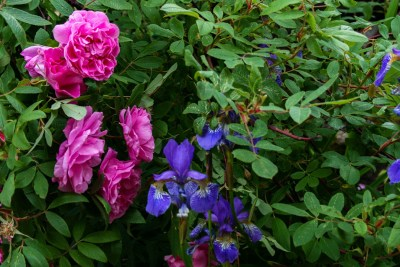 "Teresanruusu – Rosa ""Therese Bugnet"" ja siperiankurjenmiekka – Iris sibirica"