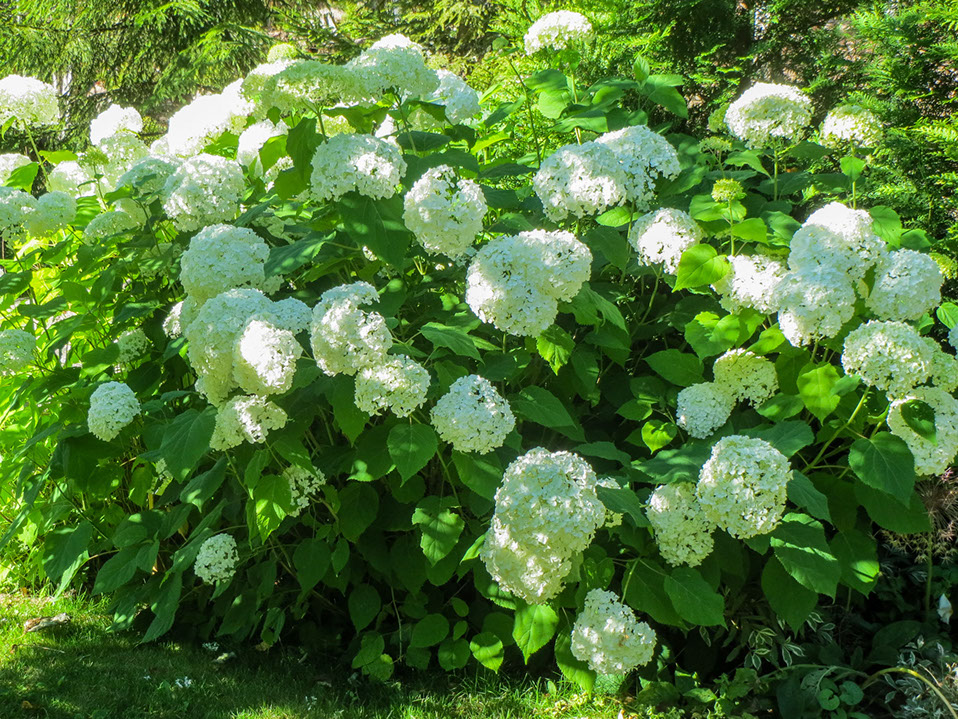 Pallohortensia – Hydrangea arborescens 'Annabelle'