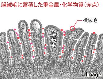 腸絨毛に蓄積した重金属・化学物質