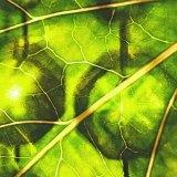 クロロフィル・葉緑素