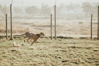 草原を走るチーター