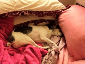 Cricket, a small terrier dog, mostly black and white, is asleep between some pillows. Her tongue hangs out a little. She is so relaxed that it is unclear whether she is alive. (She is.)