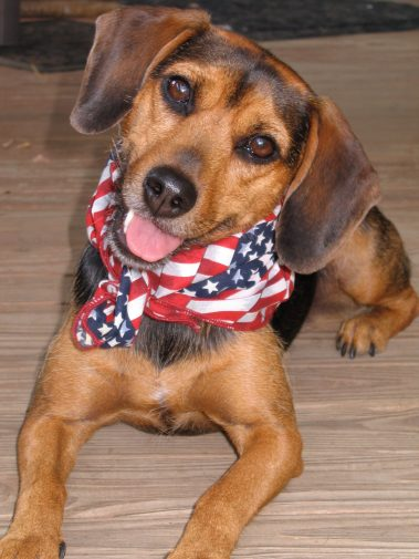 Small black and tan hound wearing an American Flag scarf, lying down and cocking her head