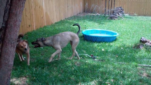 Clara guards the sprinkler