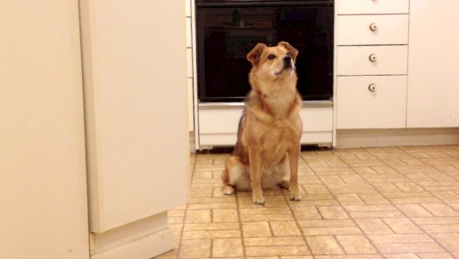 "A sable colored dog sitting by herself in a kitchen. Her body language is relaxed, her eyes are soft, and she is looking toward someone off camera. We have worked to replace a poisoned cue for ""stay."""