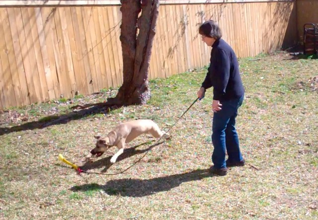 a tan dog is stretched out at her whole length, chasing a toy on a rope attached to the end of a pole