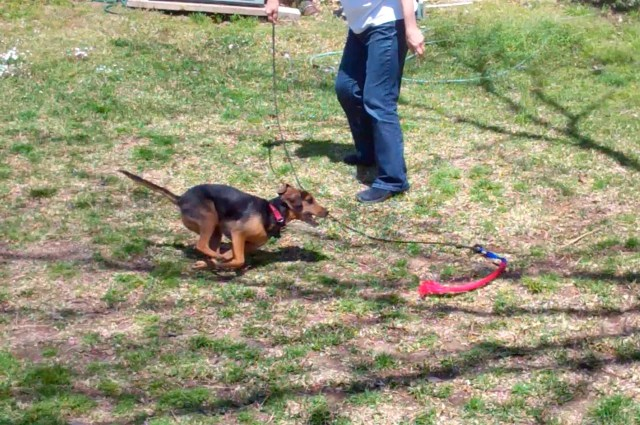 small black and tan dog chases a red toy at the end of a rope on a pole