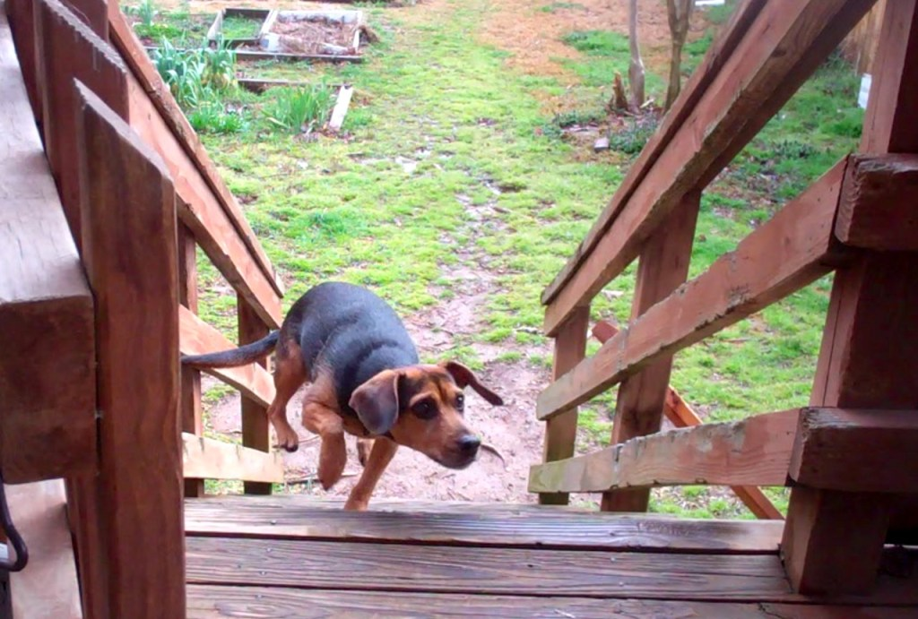 Black and tan dog rushing up steps