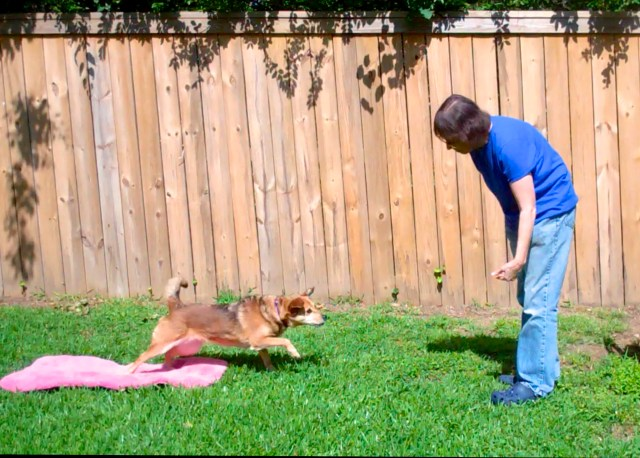 Sable colored dog leaps off a pink mat towards her female handler's outstretched hand