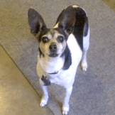 Small white, black, and brown short coated rat terrier stand straight and tall and looks straight up at the camera (and her person)