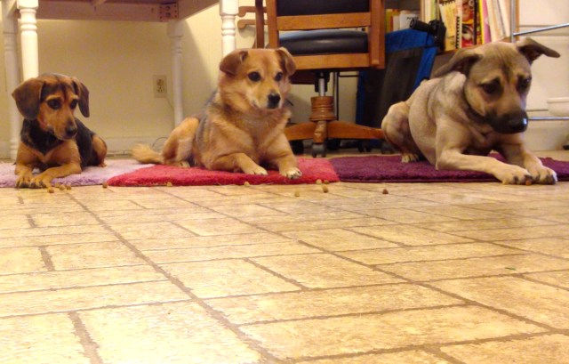 Three dogs are lying down in a row on brightly colored mats. On the left is a smallish black and rust colored dog with long ears, who looks like a beagle. In the middle is a sable (brown fur with black tips) mediums sized dog. The dog on the right is light tan with a black muzzle and ears. There is kibble on the floor in front of them. The dogs are looking at the kibble but staying put. The tan dog is looking very intently because one of the pieces of kibble is touching her foot.