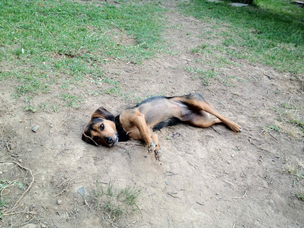 A small dog is lying on her right side in the dirt. Her legs, belly, and face are tan. She is black elsewhere. Her legs are stretched out in front of her and her head is on the ground. At first glance she looks relaxed, but her front legs are actually stiff and one is being held off the ground.