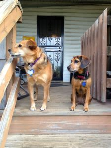 a sable colored dog and a smaller, black and tan dog are on the top step of a porch. They are both looking to the left. The sable dog's commissure is pushed a little forward. The smaller dog is just looking.