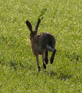 Hare making a run for it